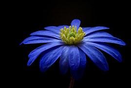 balkan-anemone-56414__180