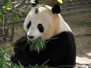 panda-655491