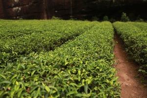tea-garden-830698_1920