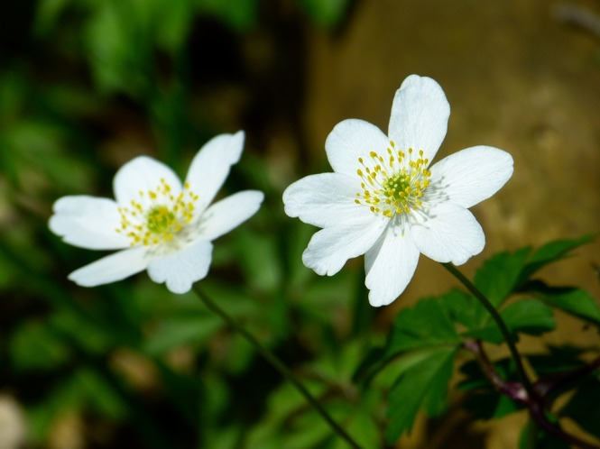 wood-anemone-292340_960_720