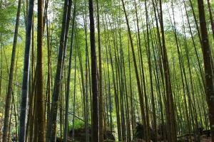 bamboo-463073_1920